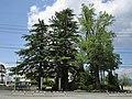 Azumino city Misato branch office Shirasawa Yasumi's Trees.jpg