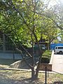 B38 Cucumber Magnolia Distance.jpg