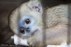 Baby Golden Monkey (73313623).jpeg