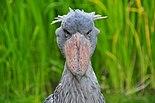 Balaeniceps rex (Schuhschnabel - Shoebill) - Weltvogelpark Walsrode 2010-10.jpg