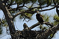 Bald Eagle with nestling.jpg