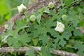 Balsam Apple (Momordica balsamina) (16768965816).jpg