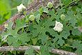 Balsam Apple (Momordica balsamina) (16768965816).jpg