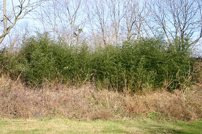 English: A screen planting of bamboo, used to ...