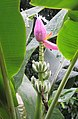 Banana tree flower.jpg