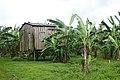 Bananiers à Ribeira Peixe (São Tomé) (1).jpg