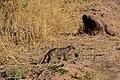 Banded mongoose, Ruaha National Park (1) (28691274766).jpg