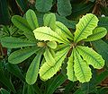 Banksia integrifolia 02 ies.jpg