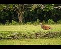 Banteng Ujung Kulon.jpg