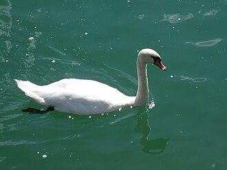 Lake Lugano - Swan in Porlezza, Italy
