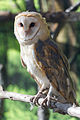 Barn Owl Perched (16874567748).jpg