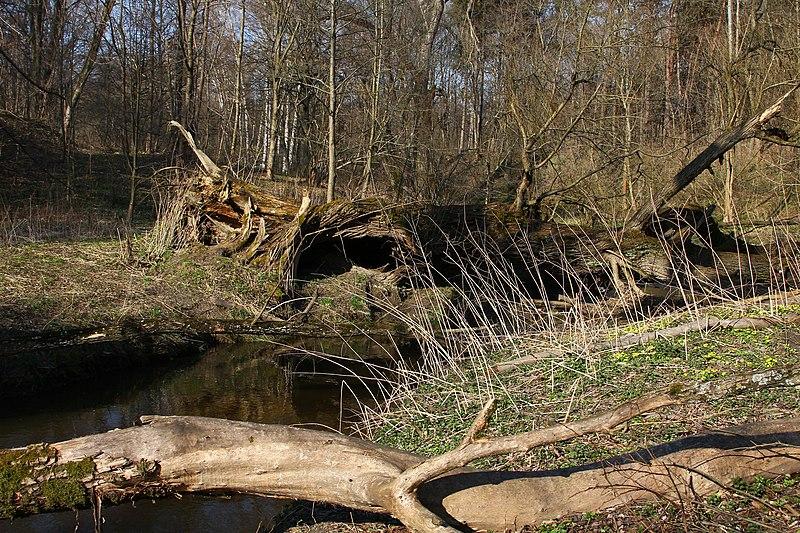 File:Bartoszyce. Suszyca płynąca przez Lasek Tepedowski ma cechy pięknej i dzikiej rzeczki z malowniczo powalonymi drzewami. - panoramio.jpg
