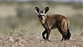 Bat-eared fox, Otocyon megalotis, at Kgalagadi Transfrontier Park, Northern Cape, South Africa (34905058111).jpg