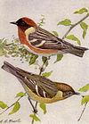 Bay-breasted Warbler NGM-v31-p316-A