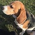 Beagle Dog female.jpg
