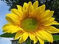 Beautiful sunflowers.jpg