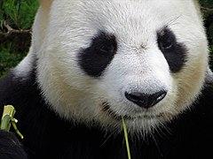 Beauval - Panda géant 09.jpg