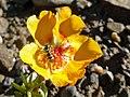 Bee Portulaca IIT Mandi C10 Jul20 R16 03705.jpg