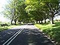 Beech tree avenue B3082 - geograph.org.uk - 37802.jpg