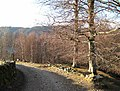 Beeches and birches - geograph.org.uk - 754582.jpg