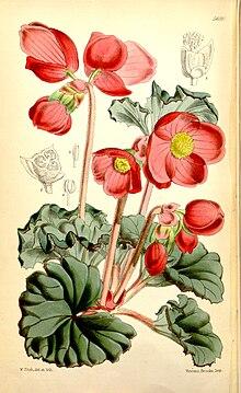 Begonia Veitchii Wikipedia