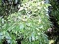 Beilschmiedia elliptica - leaves.JPG