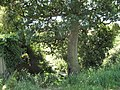 Below the Oak tree - geograph.org.uk - 1937016.jpg