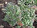 Berberis thunbergii 'atropurea nana' 01.jpg