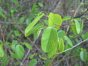 Berchemia scandens photo.jpg