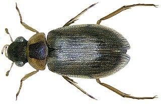 <i>Berosus</i> (beetle) Genus of beetles