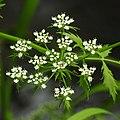 Berula erecta RF (cropped).jpg