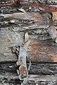 Betula papyrifera 8838.JPG