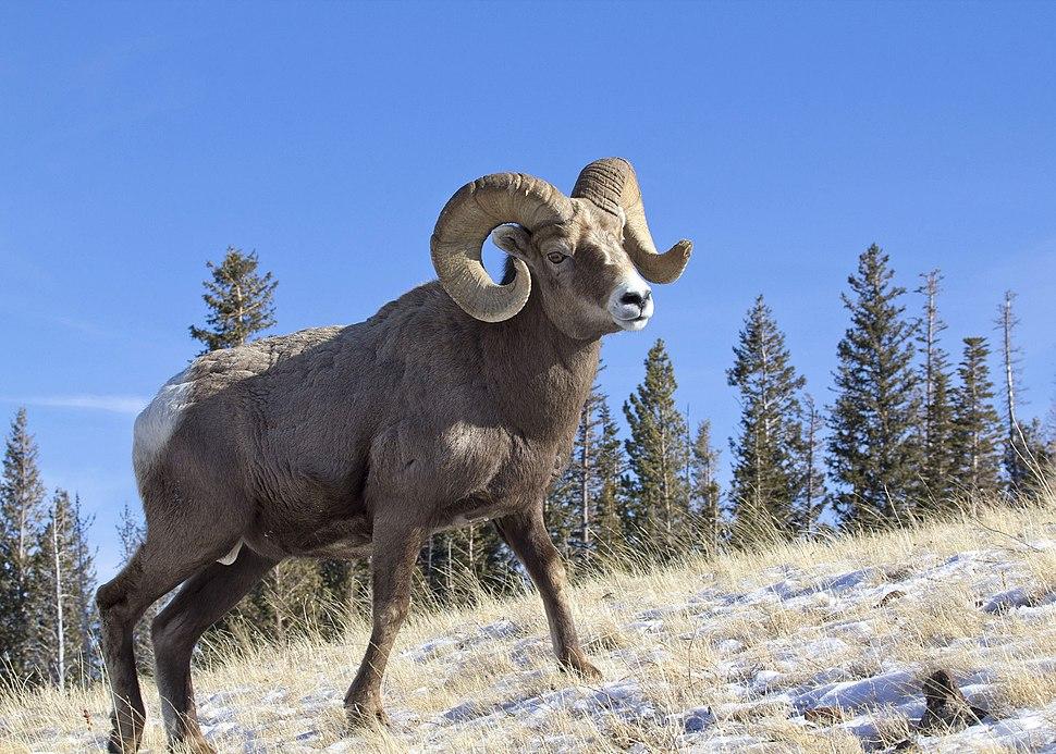 Bighorn Ram Lostine 6 myatt odfw
