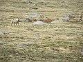 Bighorn Sheep P6040268.jpg