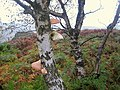 Birch tree with fungi on Froggatt Edge - geograph.org.uk - 584662.jpg