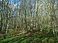 Birch woods at Torbreck - geograph.org.uk - 375332.jpg