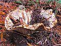Birdbath mushroom (22799674172).jpg