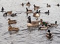 Birds in Prospect Park (20532).jpg