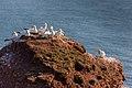 Birds on Helgoland - panoramio.jpg