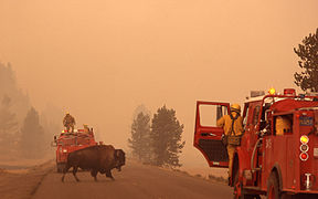 Bison crosses road during Yellowstone fires 1988.jpg