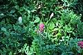 Bistorta bistortoides & Castilleja parviflora - Paradise, Mount Rainier, August 2014 - 01.jpg