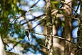 Black-capped chickadee (41163166650).jpg