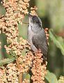 Black-eared Bushtit, Peña Blanca Lake, Santa Cruz County, Arizona 1.jpg