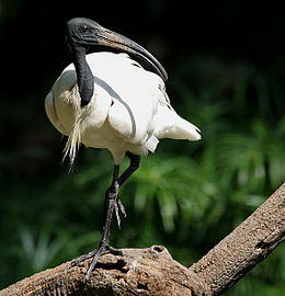 Black-headed Ibis (Threskiornis melanocephalus) W IMG 1435.jpg