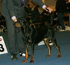 Una hembra black and tan coonhound posando en exhibición canina.