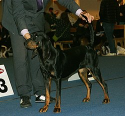 Black & Tan Coonhound 3.JPG