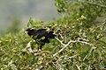 Black Eagle - nesting DSC6197.jpg