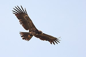 Kaggalipura - Black Eagle in Kaggalipura