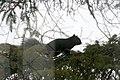 Black Squirrel 0110 (4182557830).jpg