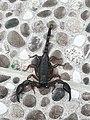 Black scorpion - akrepi i zi.jpg